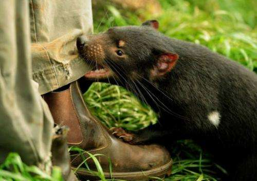 Tasmanian devils are in a battle for survival against an aggressive and contagious facial cancer