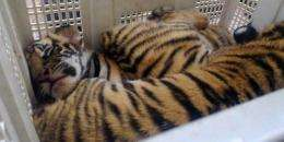 Thailand is one of only 13 countries where tigers still live in the wild