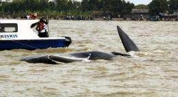 The 11-metre (36-feet) whale had been stuck near Pakis Jaya beach since July 25