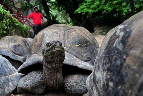 The Aldabra, of which there are over 100,000 in the Seychelles, is one of the biggest tortoises in the world