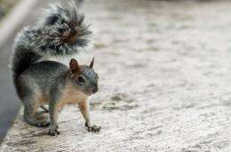 """The American grey squirrel is """"a rat with good PR,"""" say enemies"""