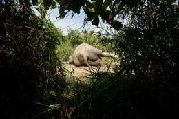 The body of a rare Sumatran elephant lies on road along a palm oil plantation in Aceh Jaya in Aceh province