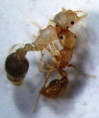 The boys are bad: Older male ants single out younger rivals for death squad