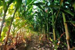 The FAO expects world creal output to drop in 2012 from last year's record level