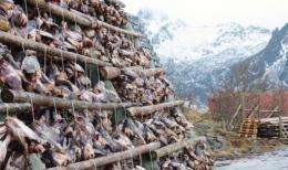 The heads of migrating and spawning east-Arctic cod dry on racks on Norway's Lofoten archipelago