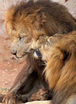 The newly opened Rabat zoo is fighting to save the bloodline and raise numbers to a viable population