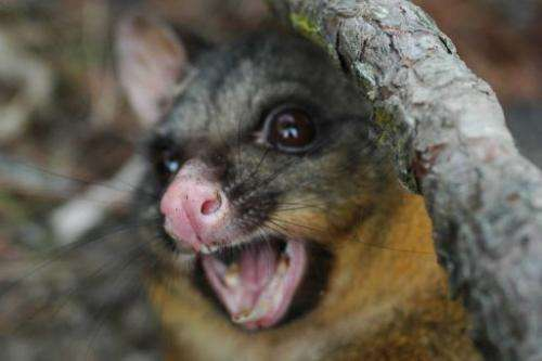 The nocturnal marsupials were introduced to New Zeland in the 19th Century