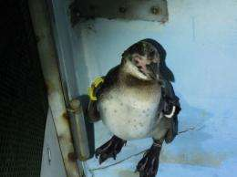 The penguin was recaptured in Ichikawa, about eight kilometres from its home, under a bridge over the Edo river