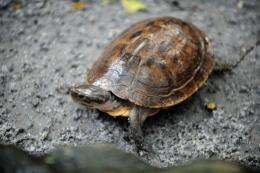 """The pond turtle has been listed as """"critically endangered"""" and """"one of the rarest and least known turtles in the world"""""""