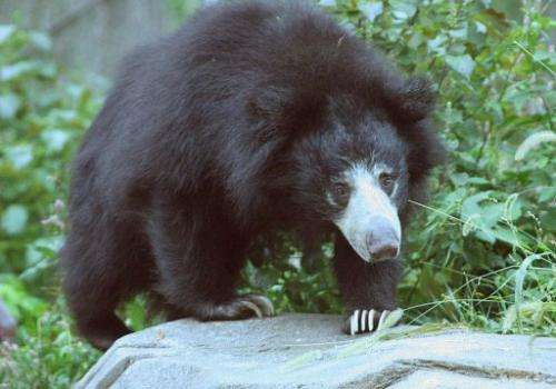 The population of sloth bears, which are native to South Asia, now stands at less than 20,000