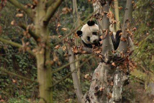 There have already been 10 unsuccesful attempts at setting pandas free over the past 30 years
