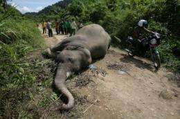 The Sumatran elephant is critically-endangered