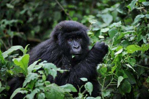 The Virunga volcanoes conservation area is home to 480 of the world's 790 remaining mountain gorillas