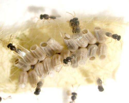 Tiny wasp may hold key to controlling kudzu bug