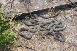 Tracking Lake Erie water snake in fight against invasive fish