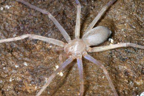 World's first eyeless huntsman spider discovered