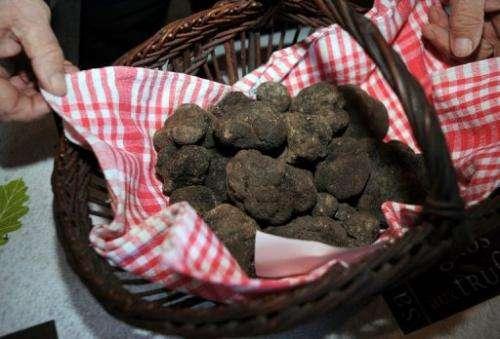 Trufflers have long suspected that global warming is affecting Tuber melanosporum
