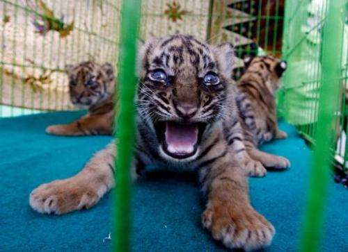 """""""Two are male, while we haven't been able to get close to the other to identify it,"""" said a vet at Medan Zoo in Sumatra"""