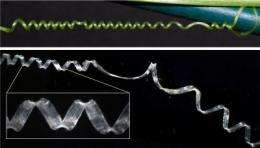 Uncoiling the cucumber's enigma: Researchers discover a biological mechanism for coiling