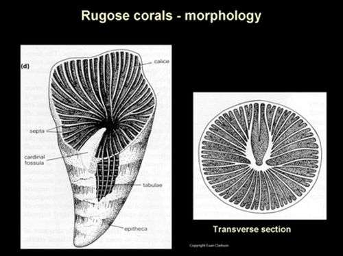 Researchers discover earliest record of rugose coral