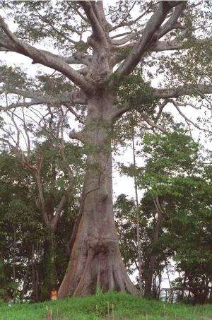Warming climate unlikely to cause extinction of ancient Amazon trees, study finds