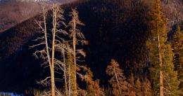 Warm winters mean more pine beetles, tree damage