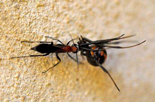 Aussie wasp on the hunt for redback spiders