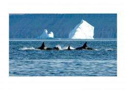 What do killer whales eat in the Arctic?