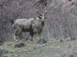 Wildlife Conservation Society documents pneumonia outbreak in endangered markhor