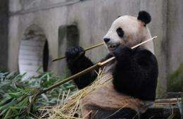 Yang Guang fortifies himself with bamboo before leaving China last year