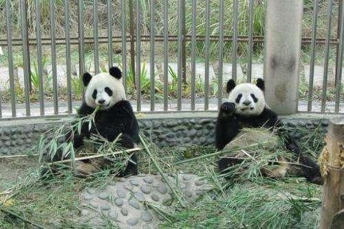 Yuan Zi (left) and Huan Huan, seen in their quarantined enclosure at the Panda Research Base in Chengdu