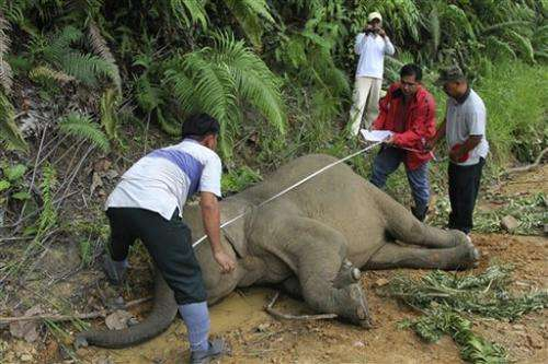 10 dead Borneo pygmy elephants feared poisoned
