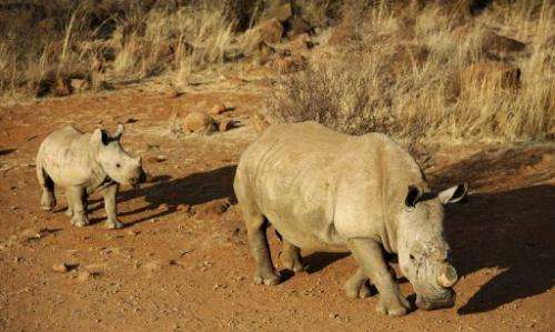 A black dehorned rhinoceros with calf on August 3, 2012 at the Bona Bona Game Reserve, 200 kms southeast of Johannesburg