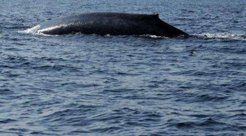 A blue whale is spotted in the waters off the southern Sri Lankan town of Mirissa on January 21, 2012