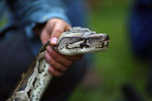 A Burmese python is seen on display at the start of the 2013 Python Challenge on January 12, 2013 in Davie, Florida