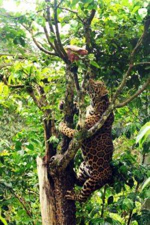 A captive jaguar climbs a tree in an enclosure at Preto Velho Farm, on January 11, 2013
