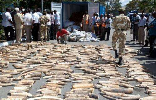 A Kenya Wildlife Service (KWS) officer counts seized elephant tusks at the port of Mombasa on July 3, 2013