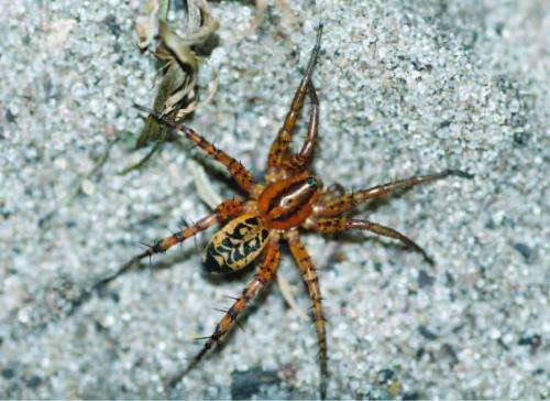 A new cryptic spider species from Africa
