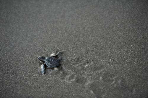 An Olive Ridley sea turtle (Lepidochelys olivacea) make its way to the sea after being released at San Diego beach in La Liberta