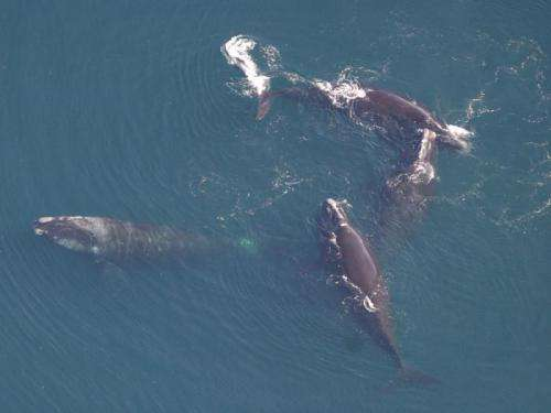 Are North Atlantic right whales mating in the Gulf of Maine?