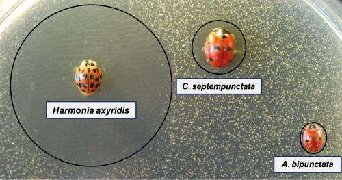 Asian lady beetles use biological weapons against their European relatives