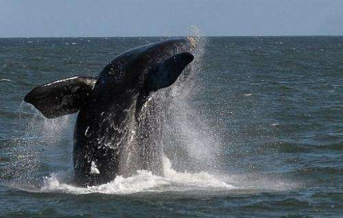 A Southern Right whale is seen near the town of Hermanus, at the southern coast of South Africa on September 5, 2013