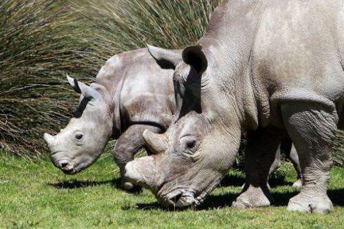 A white rhinoceros in captivity at Sigean's zoo on April 23, 2013 in Sigean, France