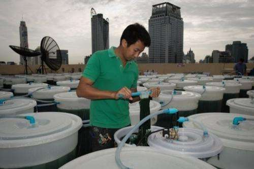 A worker checks a spirulina farm on the top of a hotel in Bangkok on June 24, 2013