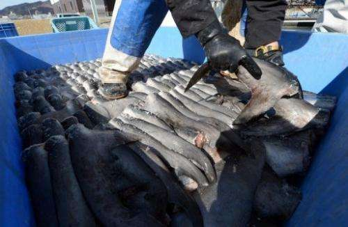 A worker packs shark fins in a plastic containeer at a processing factory in Japan on March 12, 2013