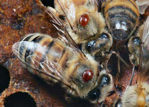 Battle against bee blood eating Acari