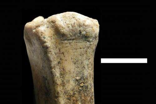 Baylor University researcher finds earliest evidence of human ancestors hunting & scavenging