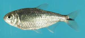 Blind cavefish offer evidence for alternative mechanism of evolutionary change