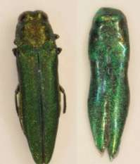 Decoys could blunt spread of ash-killing beetles