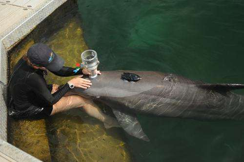 Dolphins assist scientists studying effects of data-logging tags
